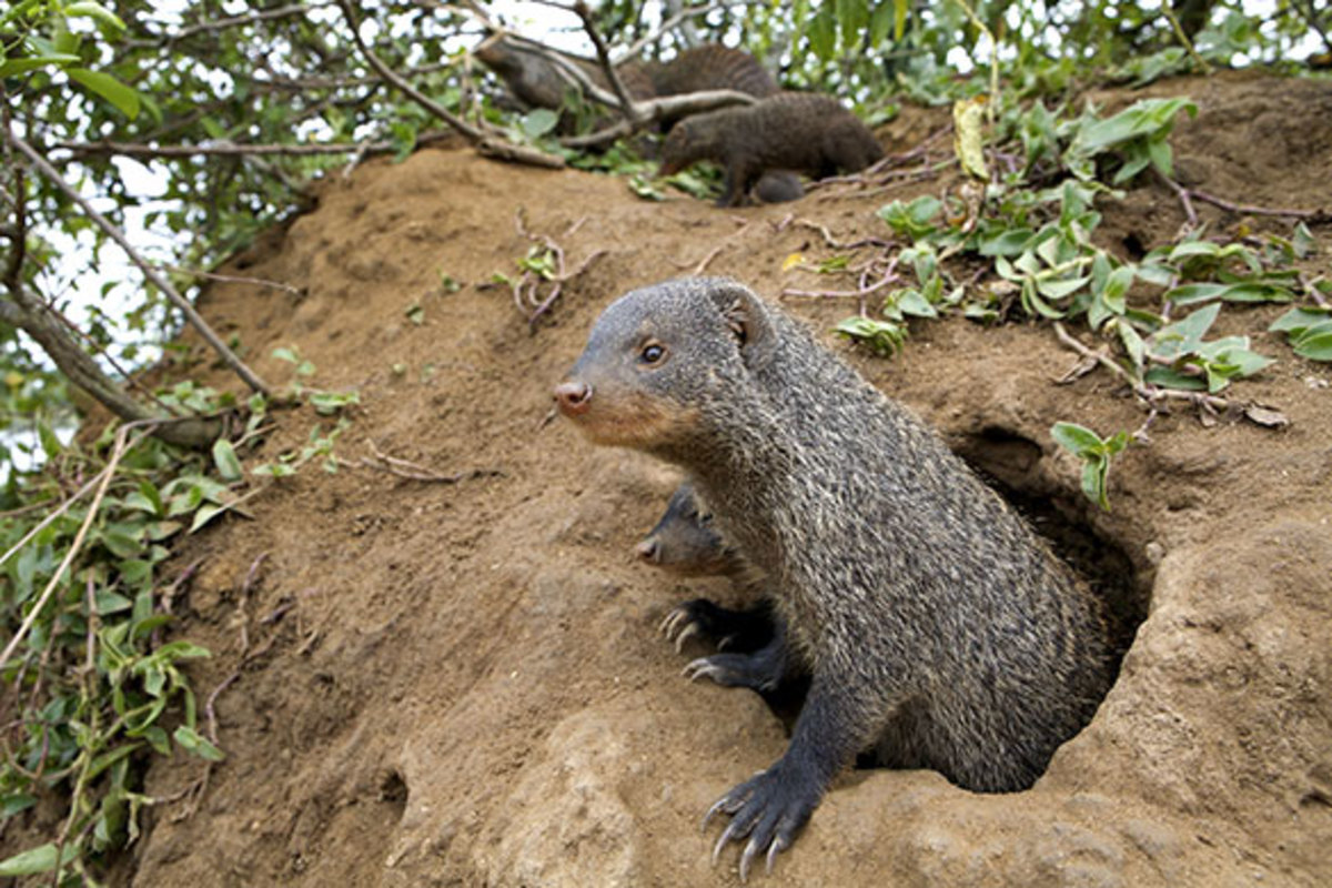 Manny the Banded Mongoose