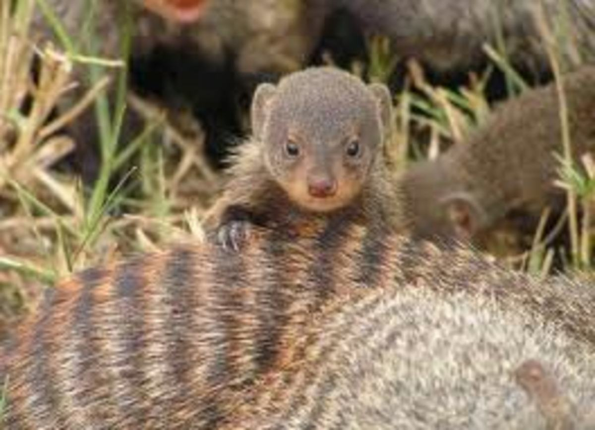 Baby Banded Mongooses are adorable, too.
