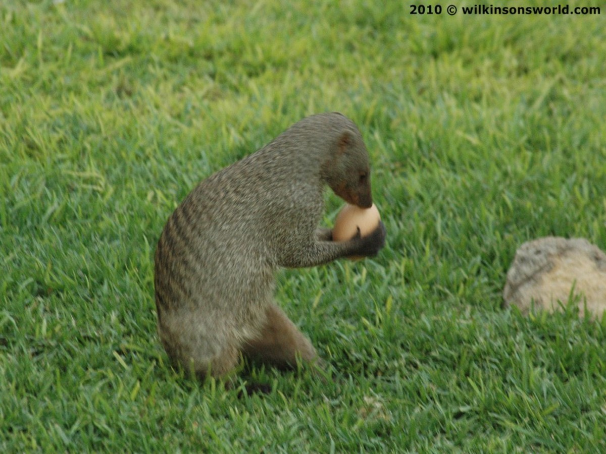 Mongoose with egg