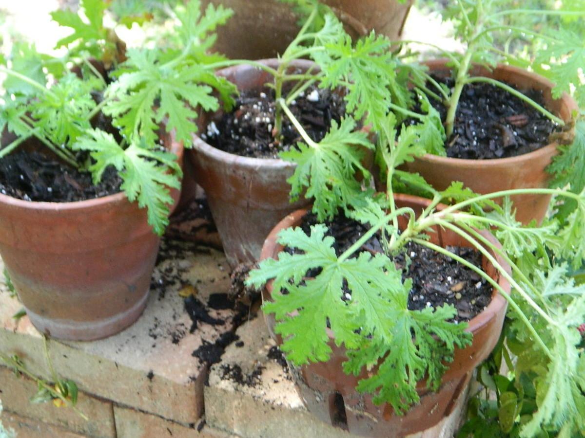 growing-citrosa-geraniuma-mosquito-repellent-plant