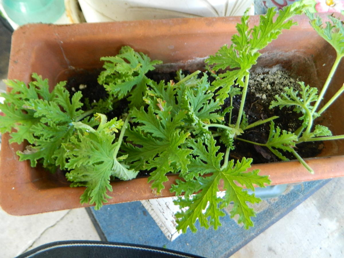 Growing Citrosa Geranium  || Is It Really a Mosquito Repellent Plant ?
