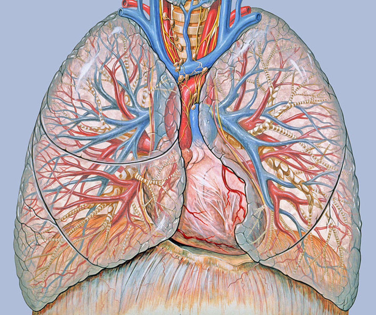 Multiple Choice Questions on the Anatomy of Heart | HubPages