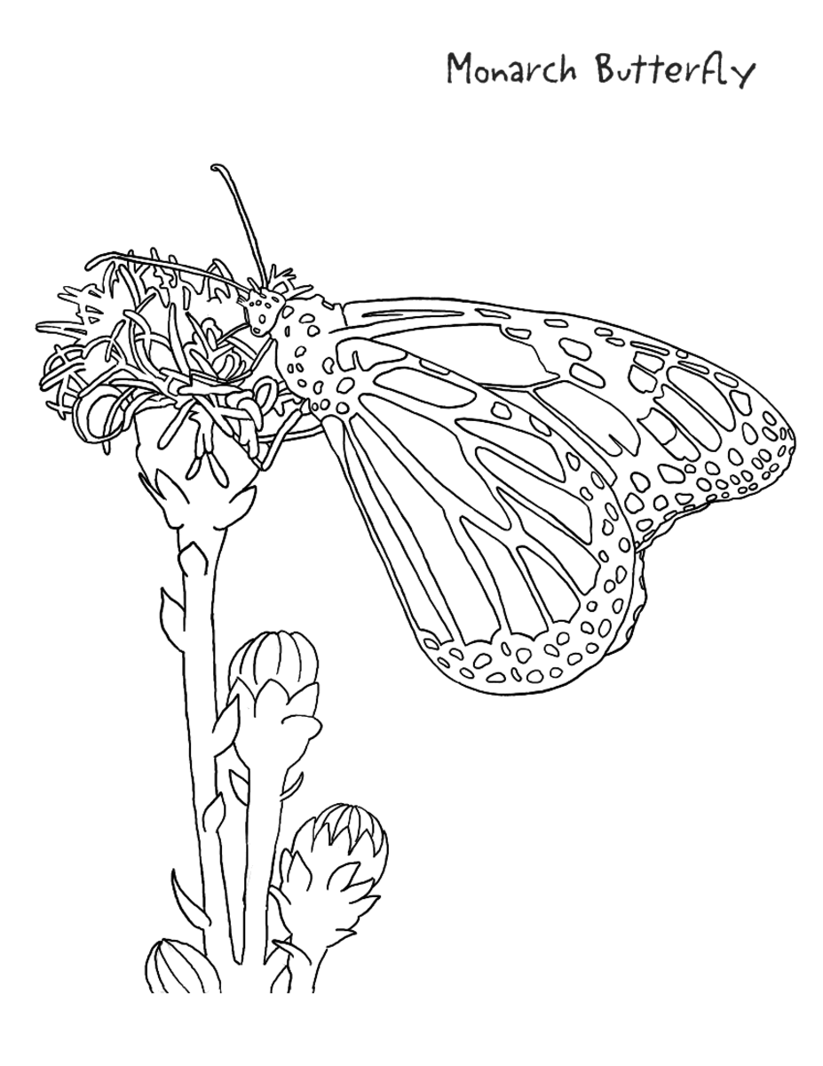 monarch coloring page