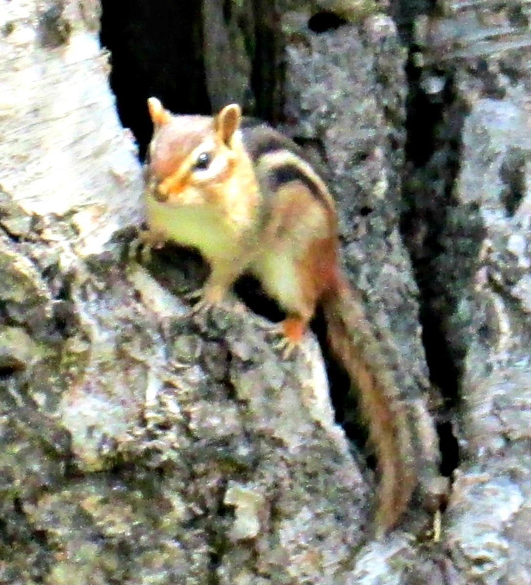 Chipmunk in the backyard tree.