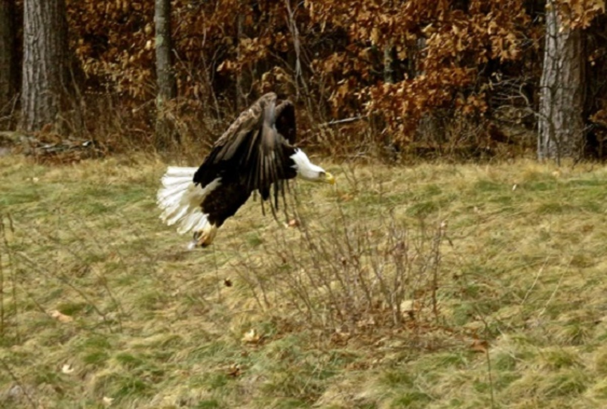 Adult eagle taking off into flight.
