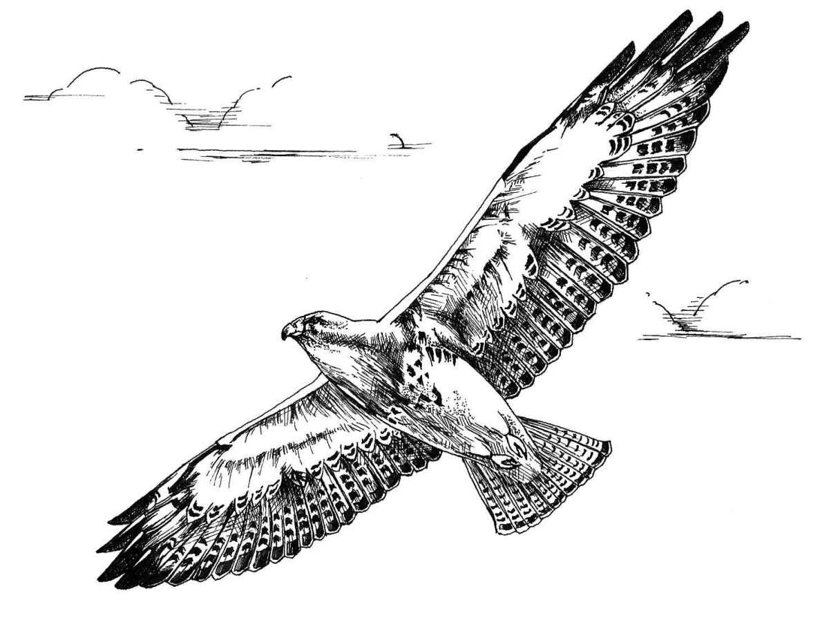 Flying Hawk Line Drawing To Color