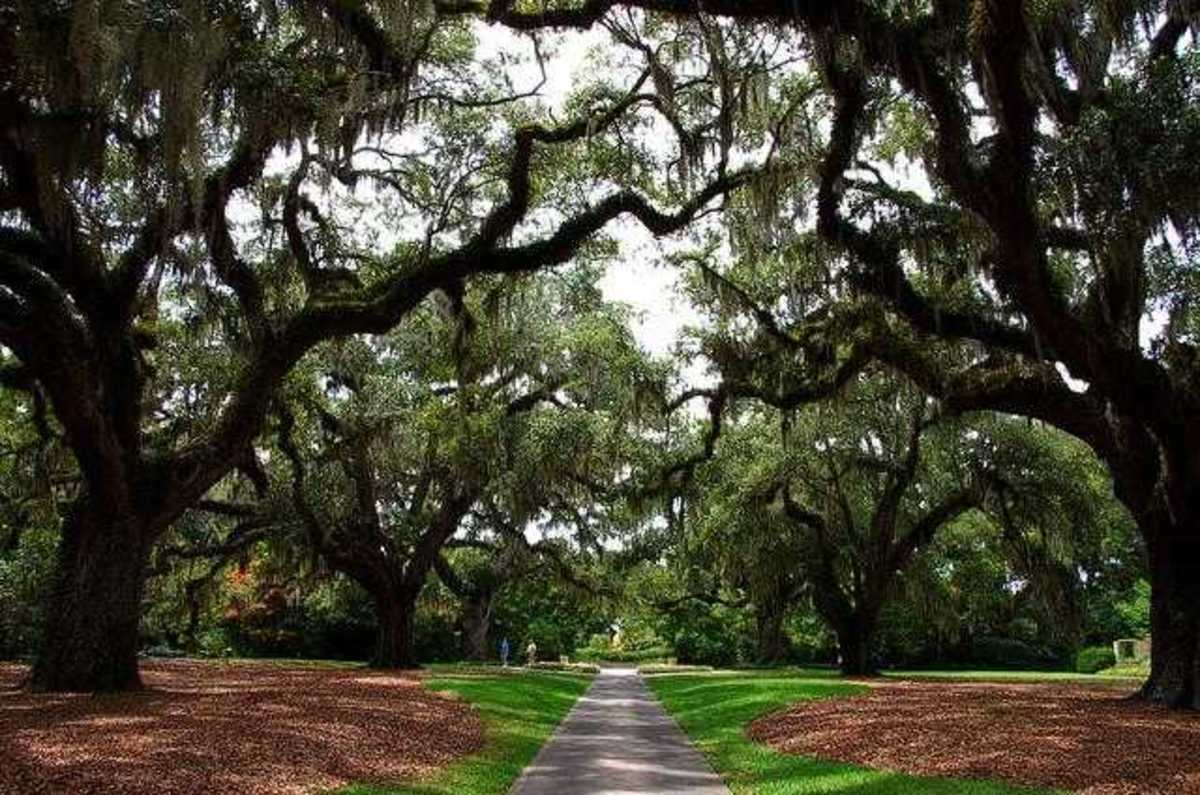 Live Oaks at Brookgreen Gardens