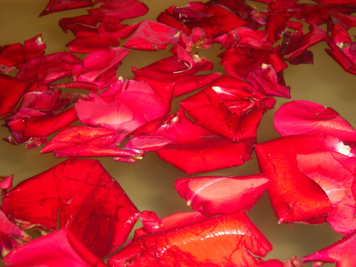 Rosewater is easily made at home by using fragrant rose petals
