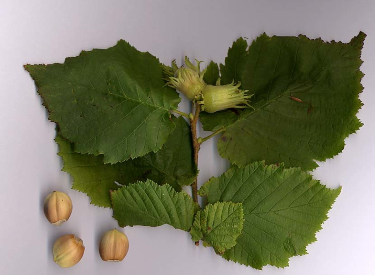 the oil from the hazelnut fruit is beneficial for combination skin