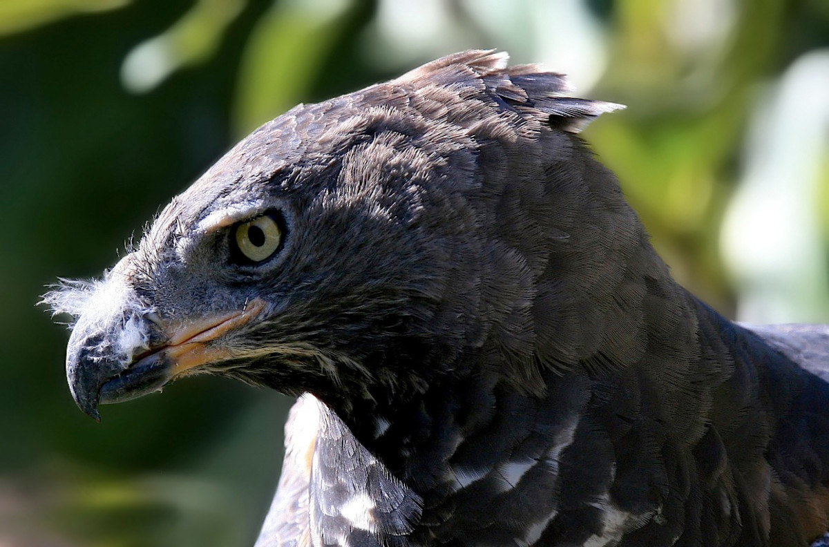 This eagle has attitude!