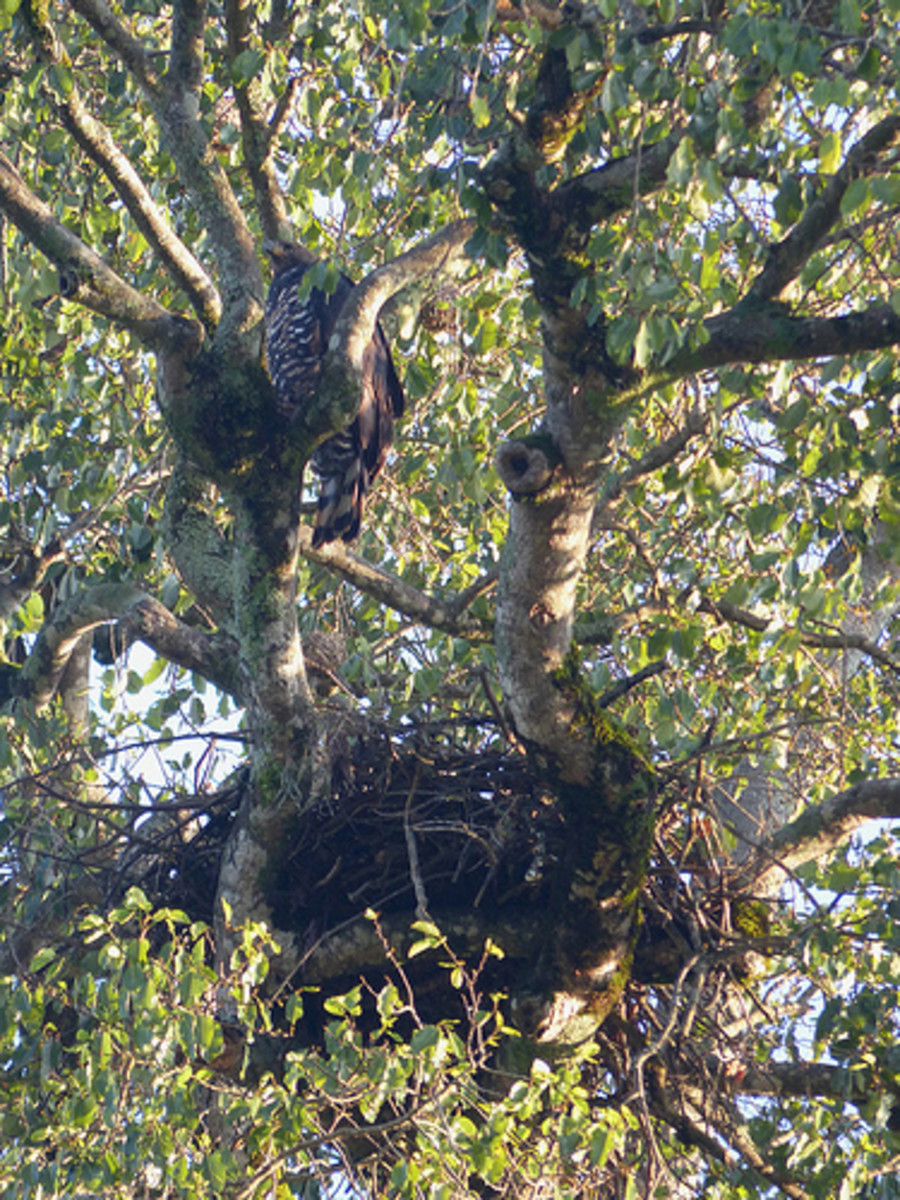 African Crowned Eagle with nest