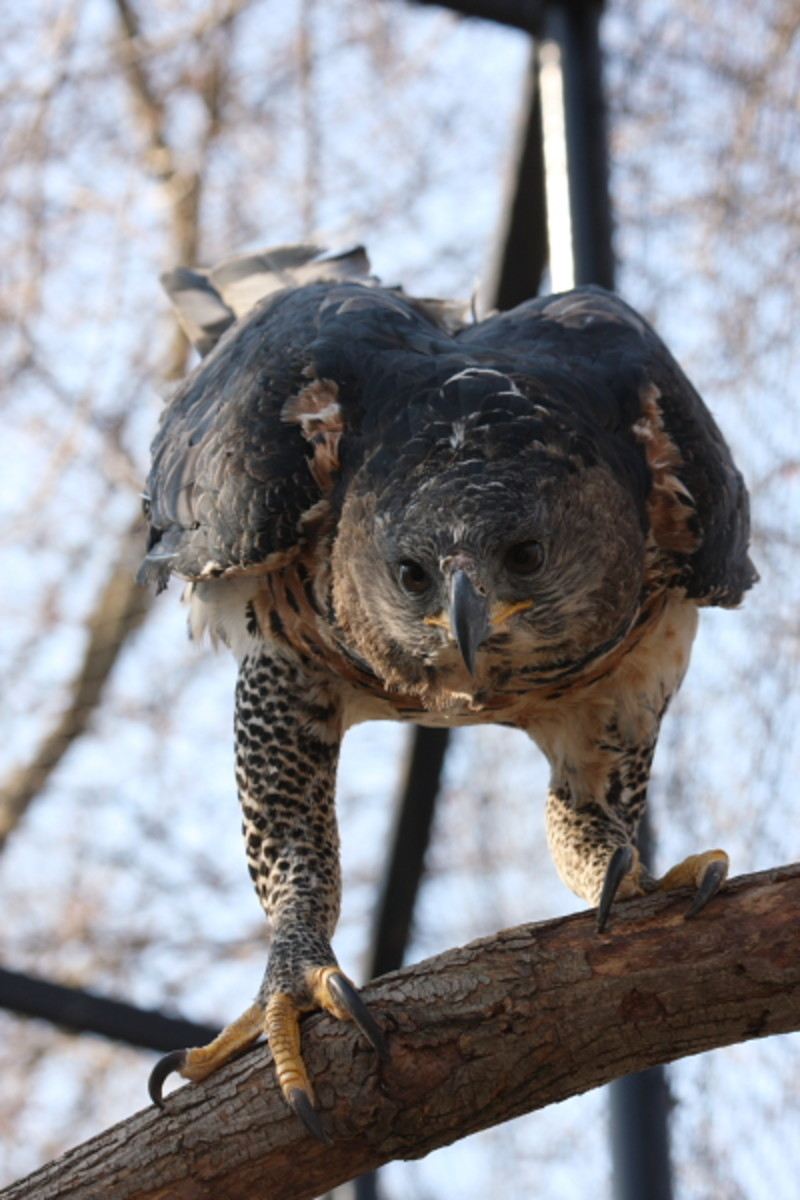 Birds of Prey:  The African Crowned Eagle
