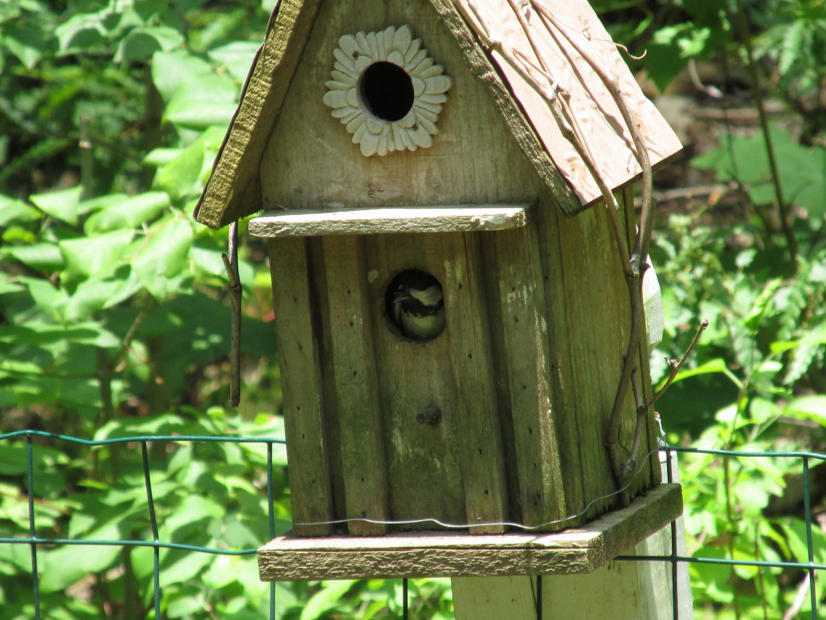 Mama Chickadee is taking care of her 3 babies; she seems to appreciate her bird house. This is her third brood this season!