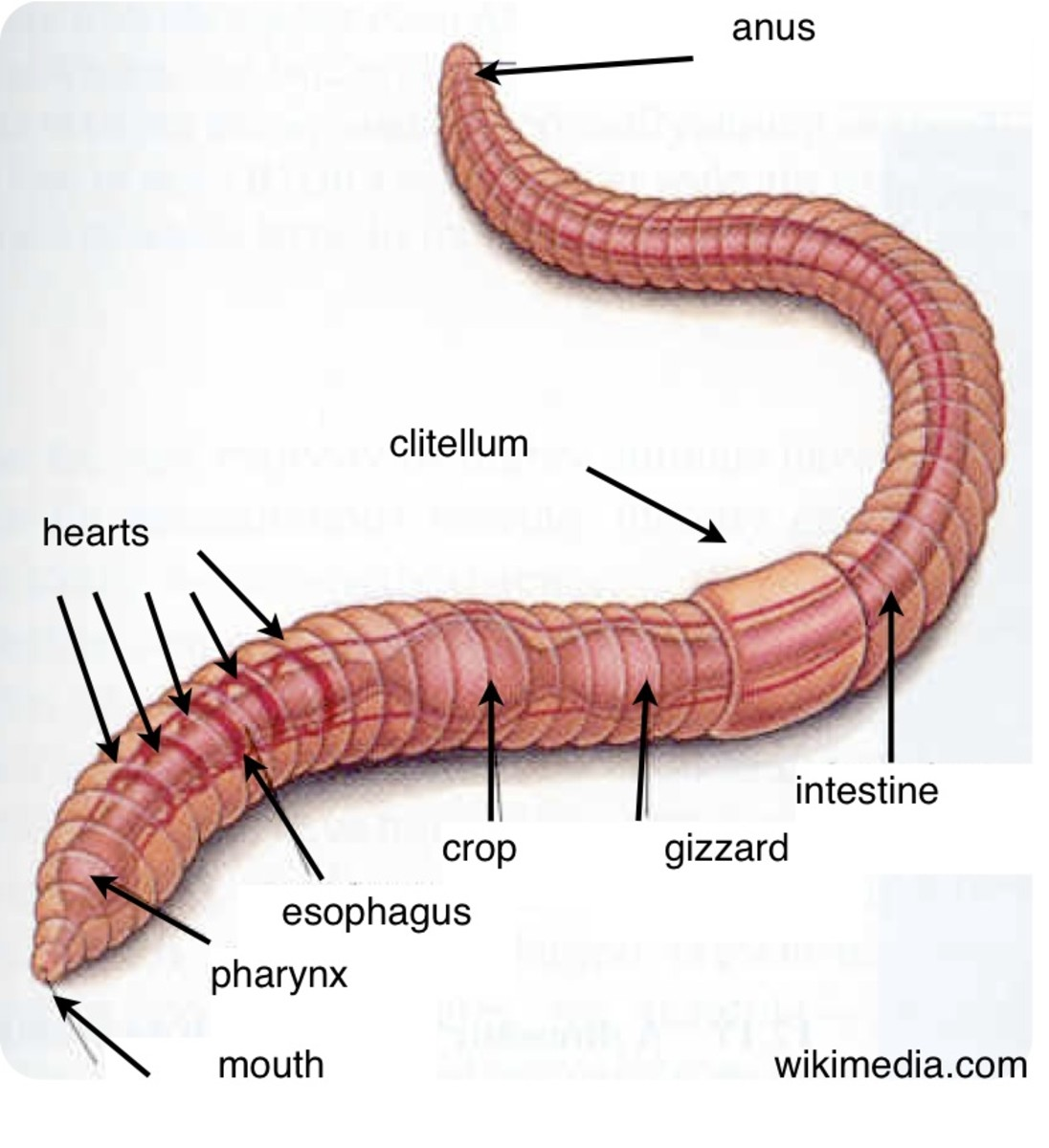 Earthworms Fun Activities To Help Kids Learn About Worms on Earthworm Dissection With Labeled Body Parts