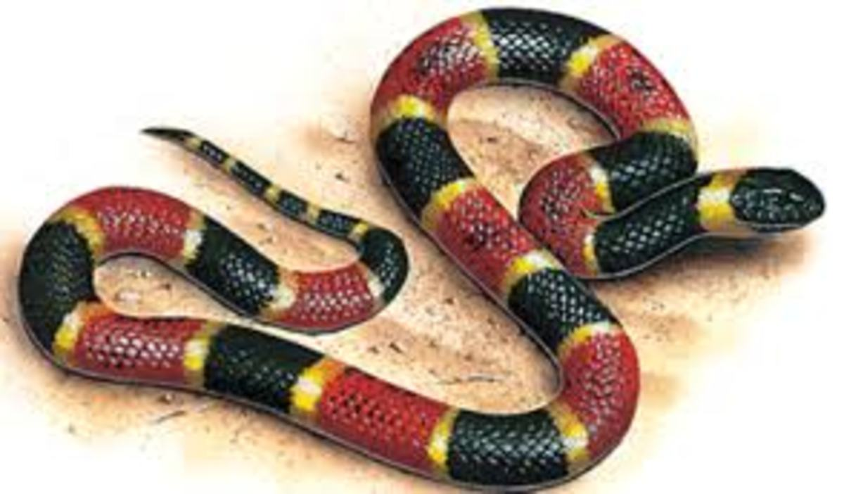 Venomous Snakes - The Coral Snake
