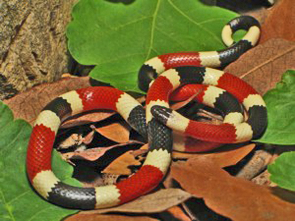 This is an Arizona Coral Snake