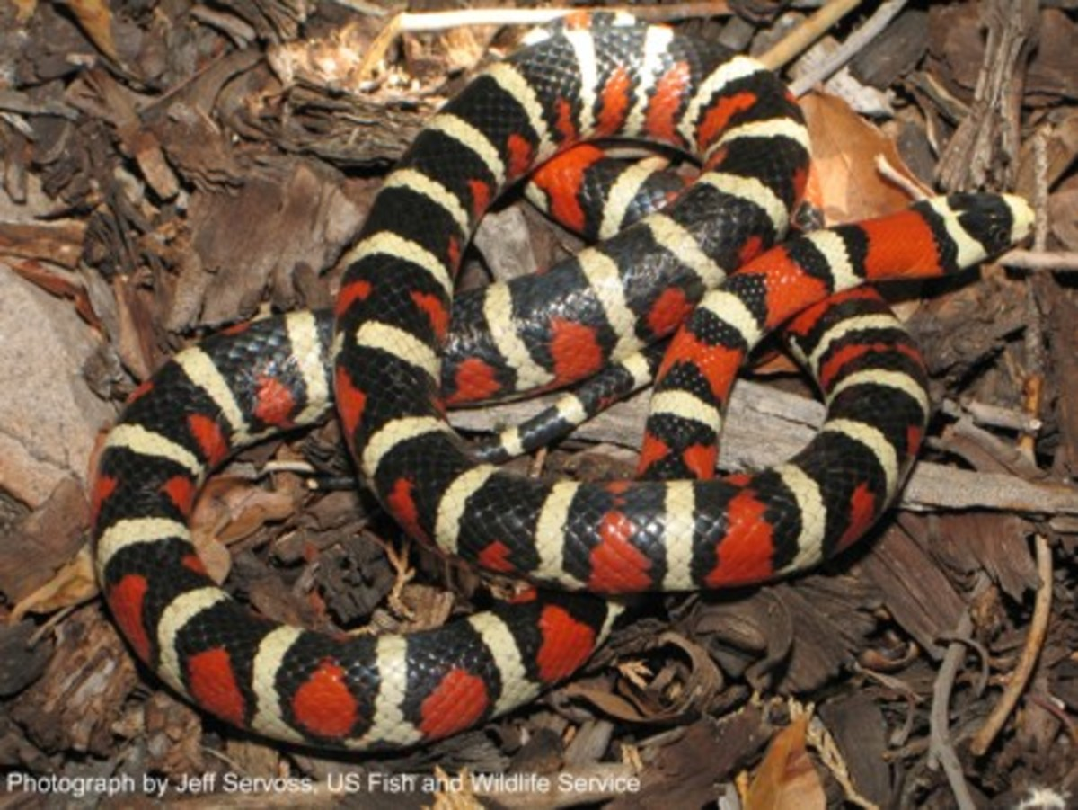 This is an Arizona King Snake
