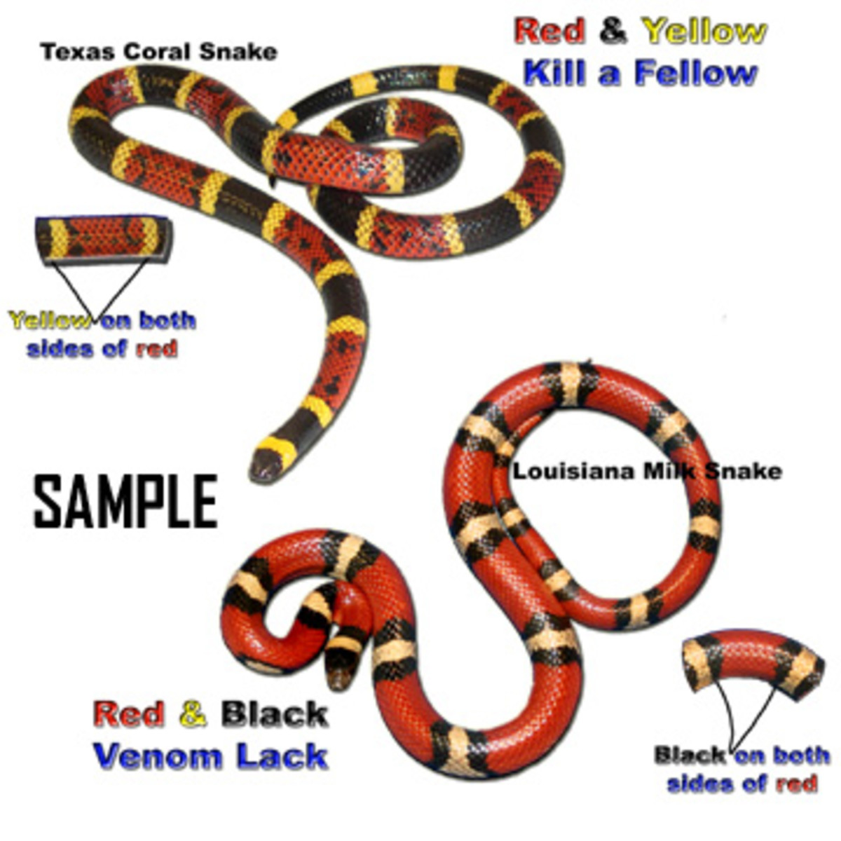 "Remember the saying ""Red touch yellow, kill a fellow; Red touch black, venom lack"" to help distinguish between the venomous Coral Snake and the nonvenomous Milk Snake or King Snake."