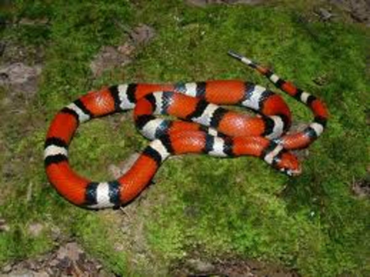 This is a Milksnake