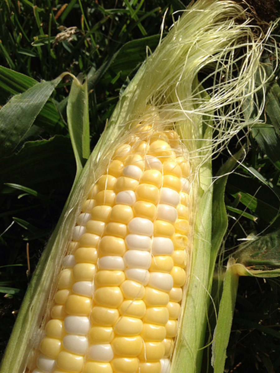 Close-up of corn silk.