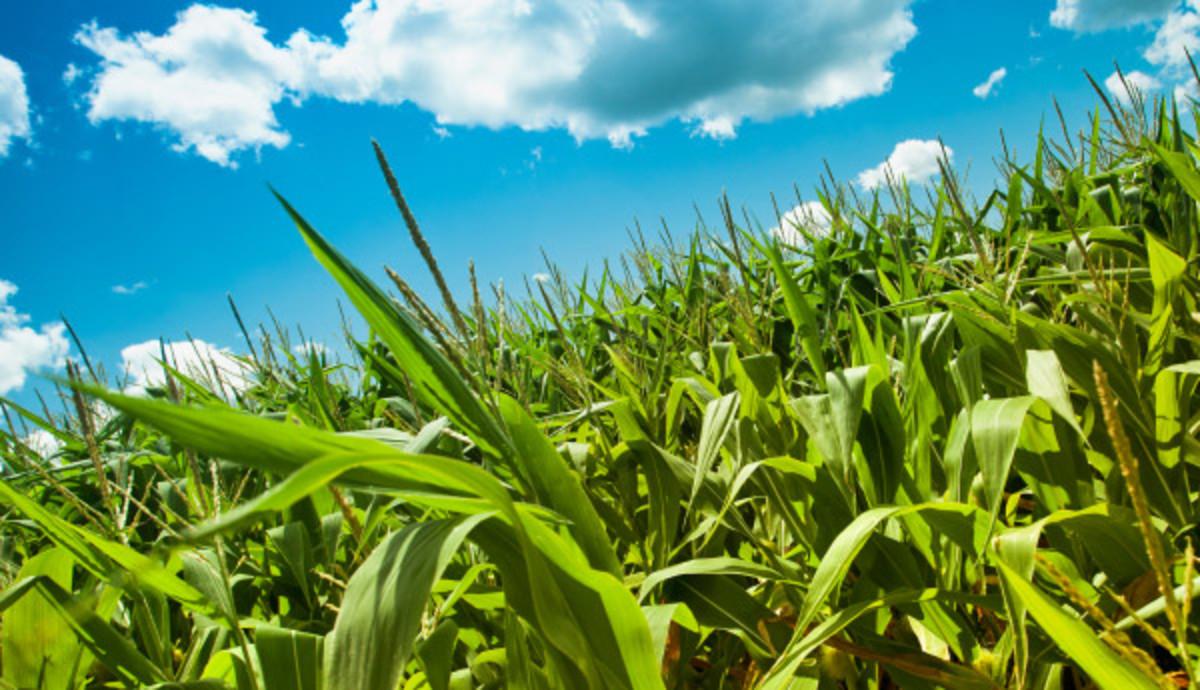 olathe corn field