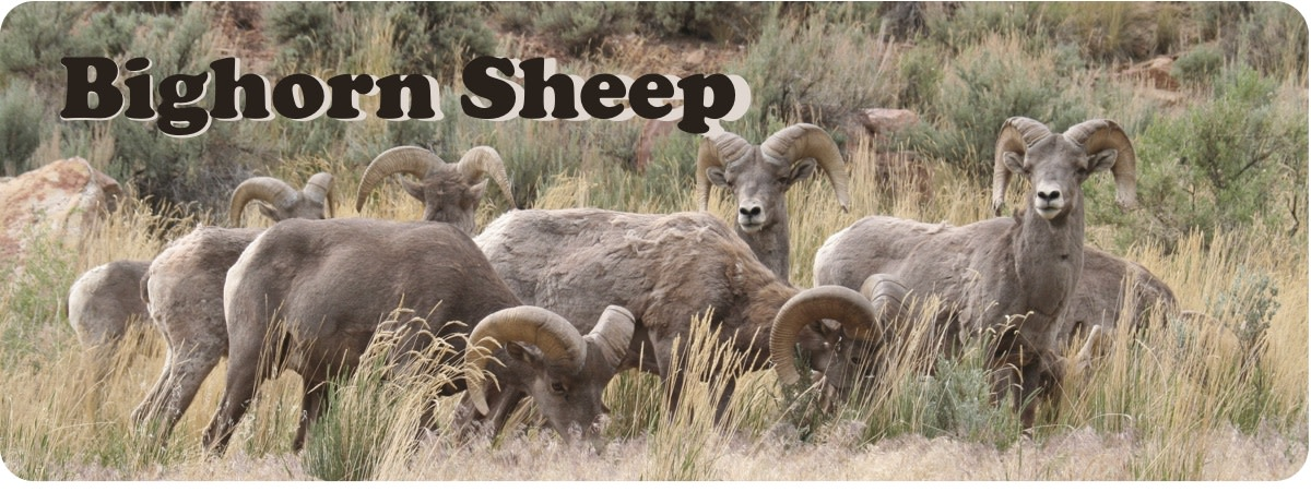 Utah's wild sheep and goats: A look at bighorns and mountain goats