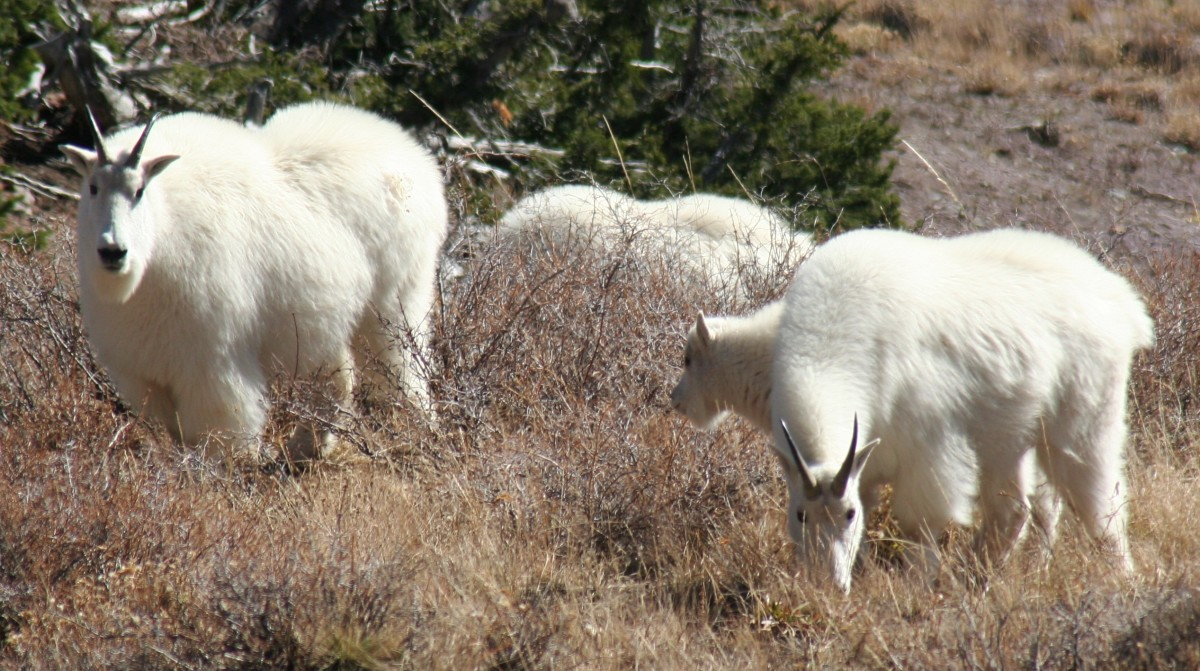 wild-sheep-and-goats-a-look-at-bighorns-and-mountain-goats