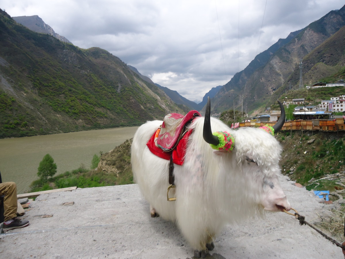 Yak, outside Jiuzhaigou Valley