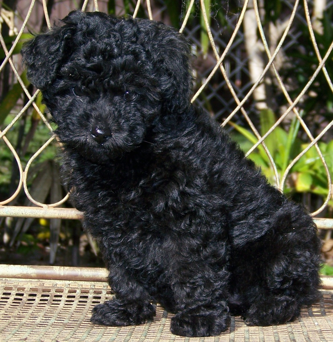 an-owners-guide-to-poodles