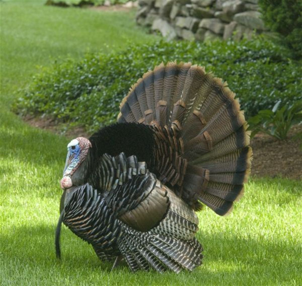 Bronze Turkey Gobbler With Long-Feathered Beard Photo