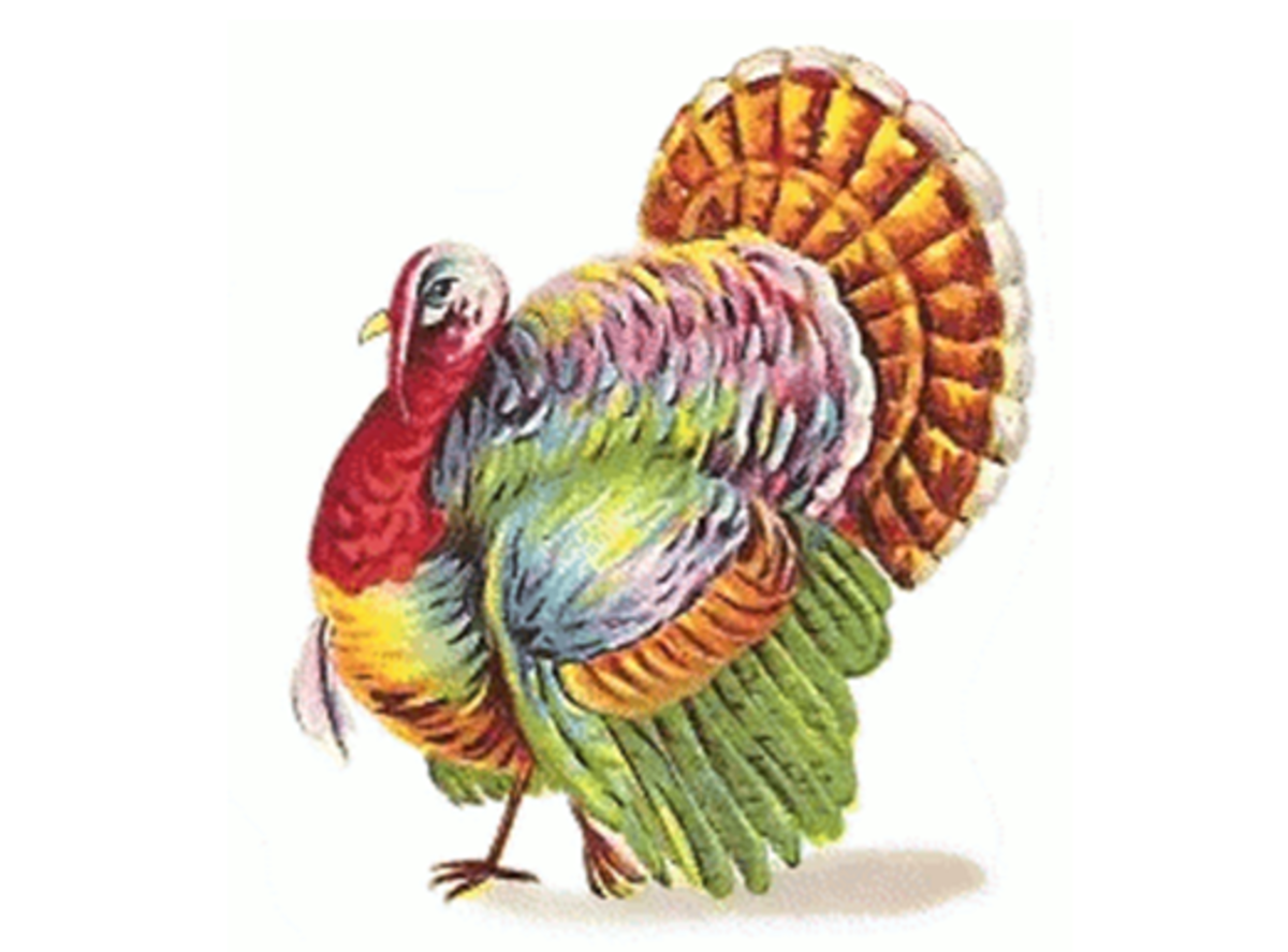 Turkey With Colored Feathers