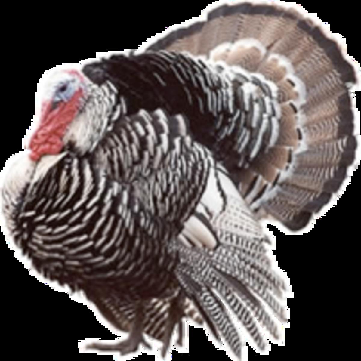 Narragansett Turkey Picture