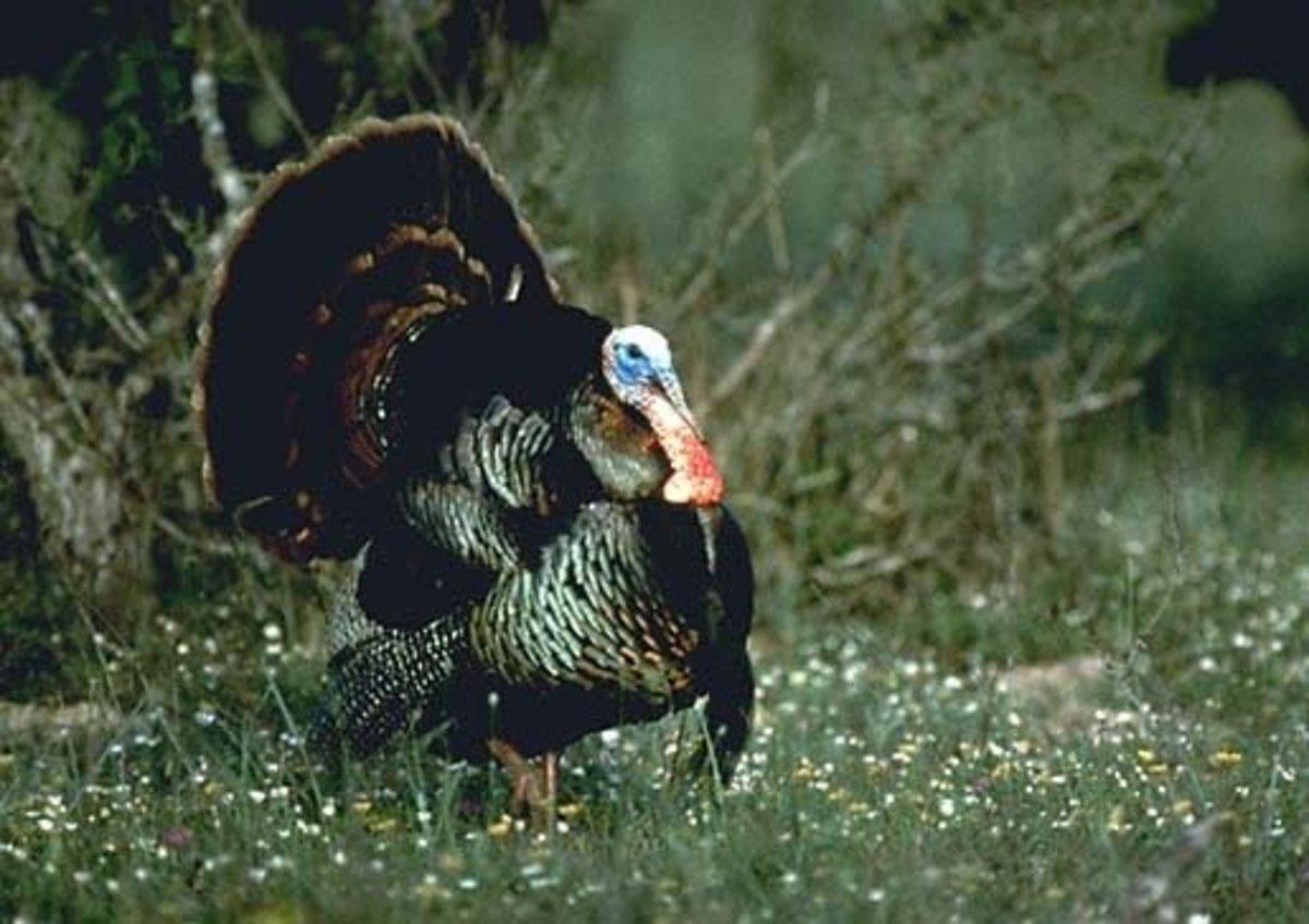 Wild Tom Turkey Photo
