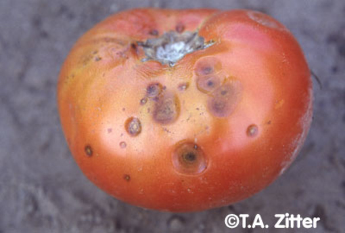 Anthracnose in tomatoes