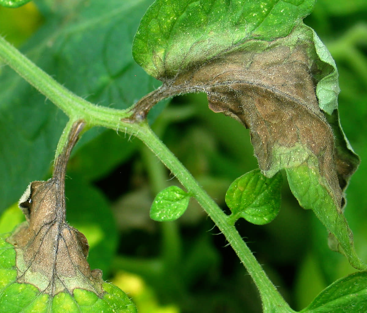 Late blight on leaves of tomato plant