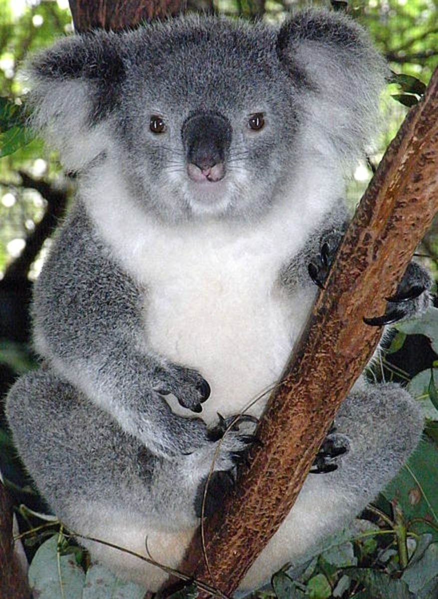 Similarities and Differences Between Koalas and Wombats, and Their Relationship to Badgers