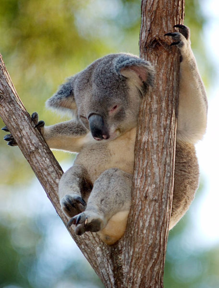 Koala sitting in home tree.