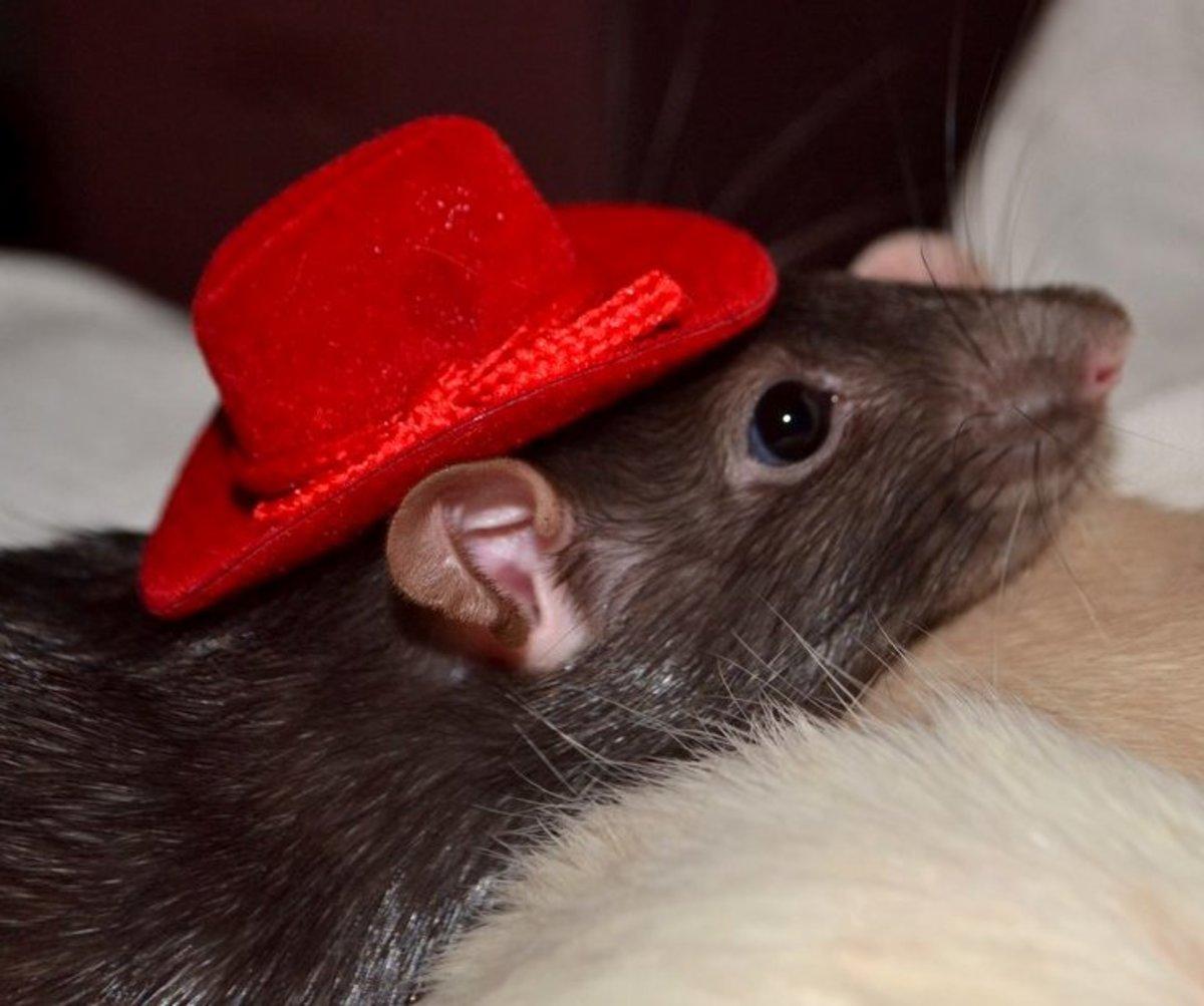 Ride 'em cowgirl...er rat.