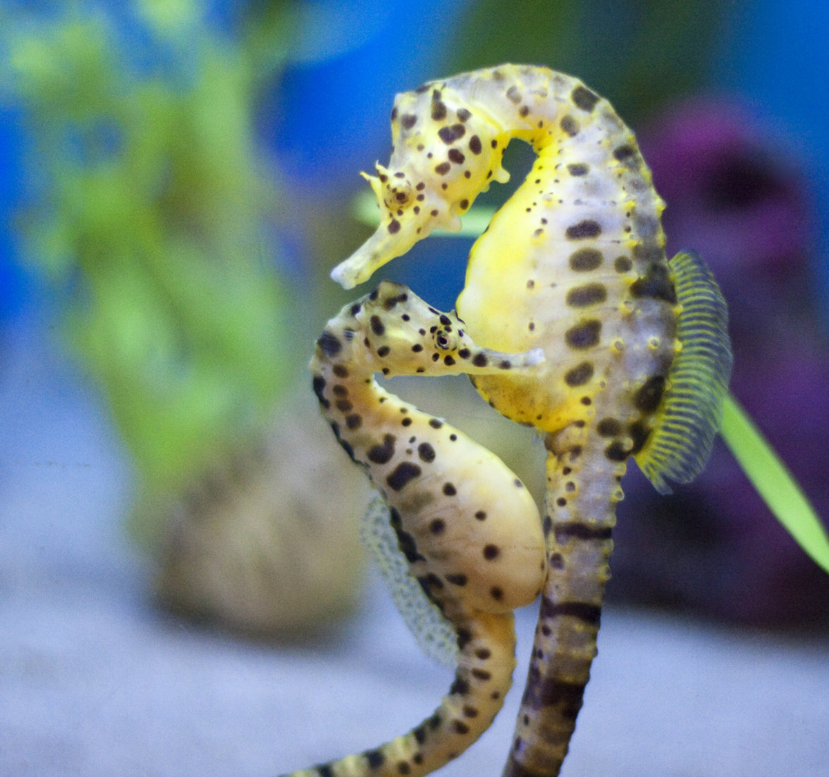 pair of potbelly sea horses