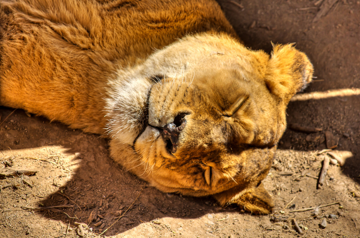 Lioness sleeping at the Chilean National Zoo
