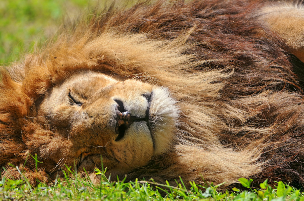 Lion sleeping at the Servion Zoo in Switzerland
