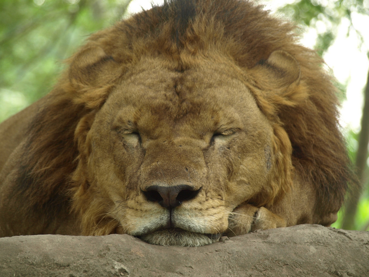 Lion sleeping at Bali Safari & Marine Park