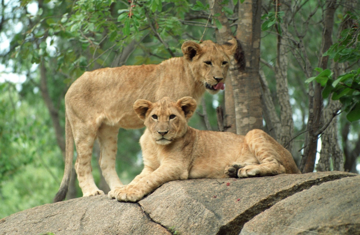 Lion cubs in Zimbabwe