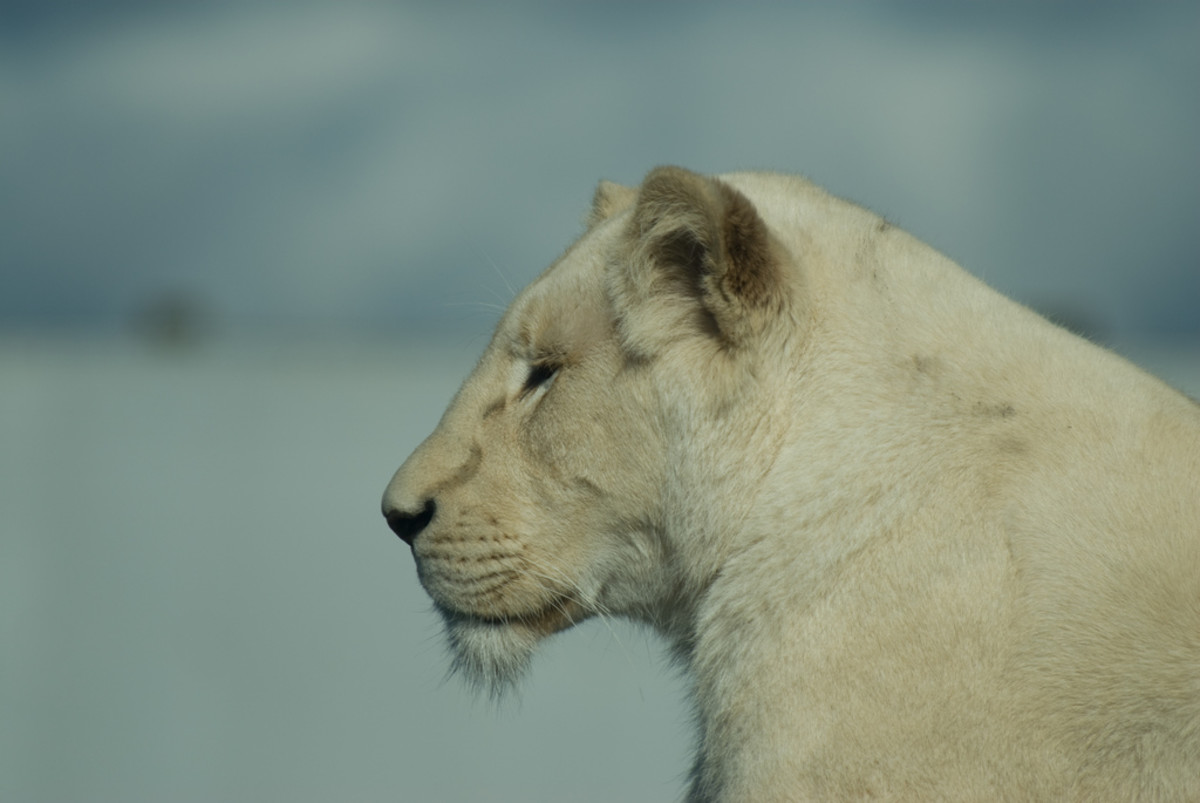 A white lioness at the West Midlands Safari Park in England