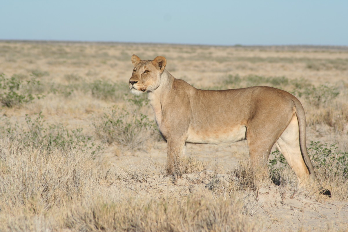 Lioness at Etosha National Park, Namibia
