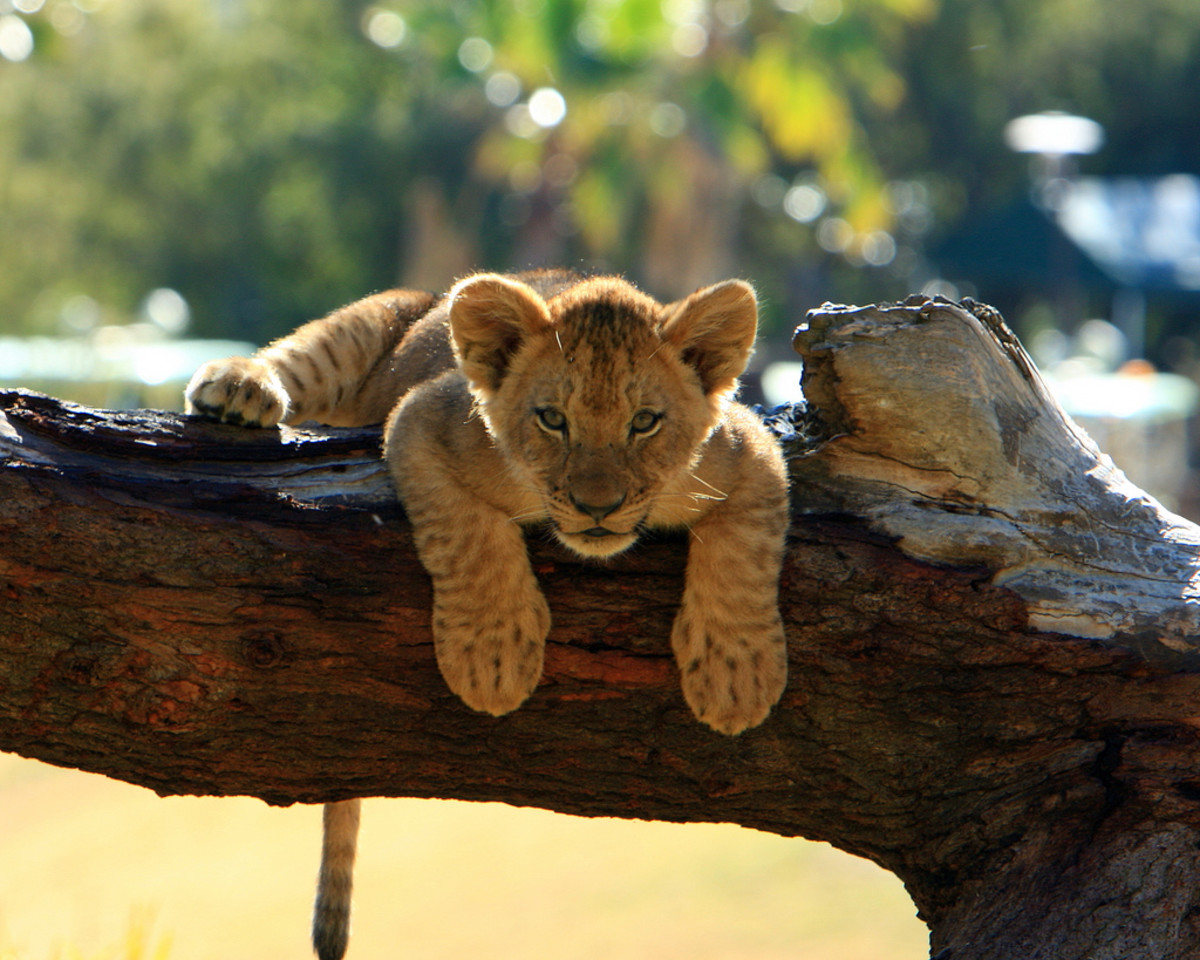 Lion cub at the San Diego Wild Animal Park