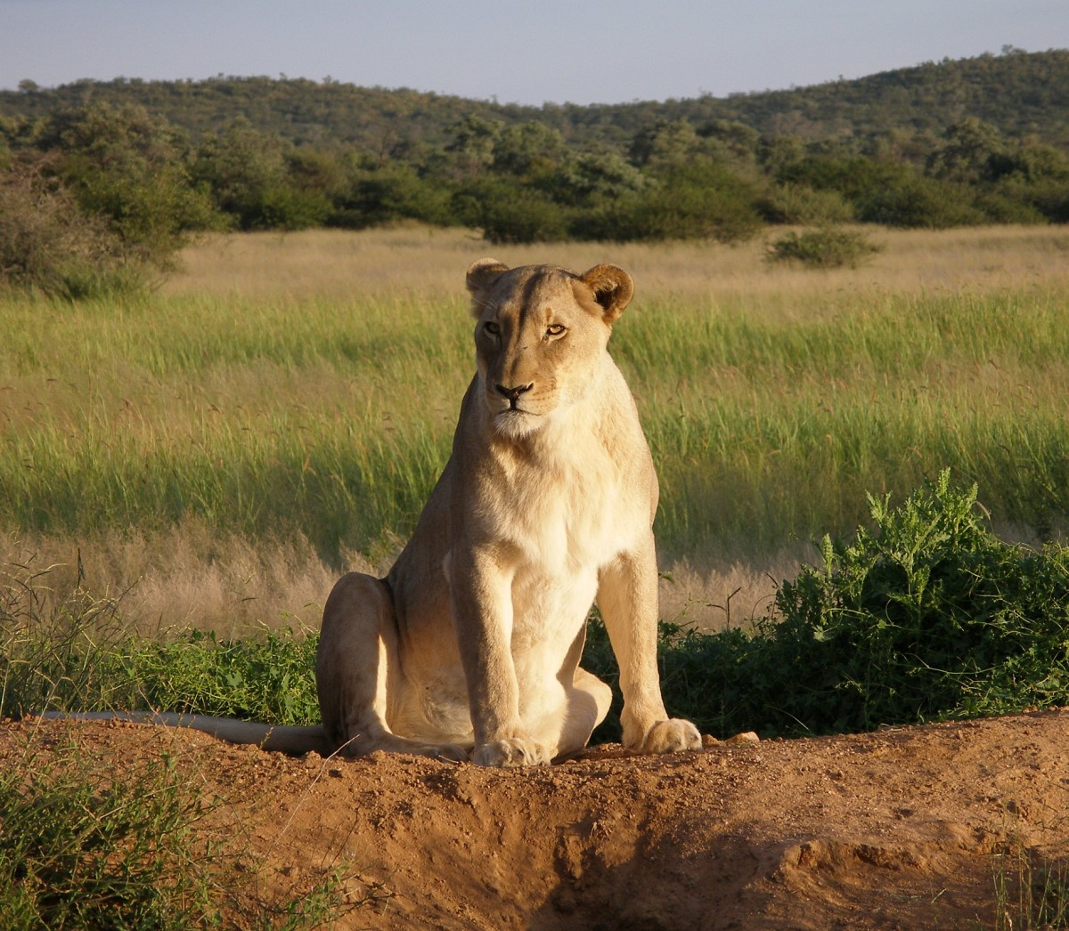 Lioness at Okonjima Lodge, Namibia