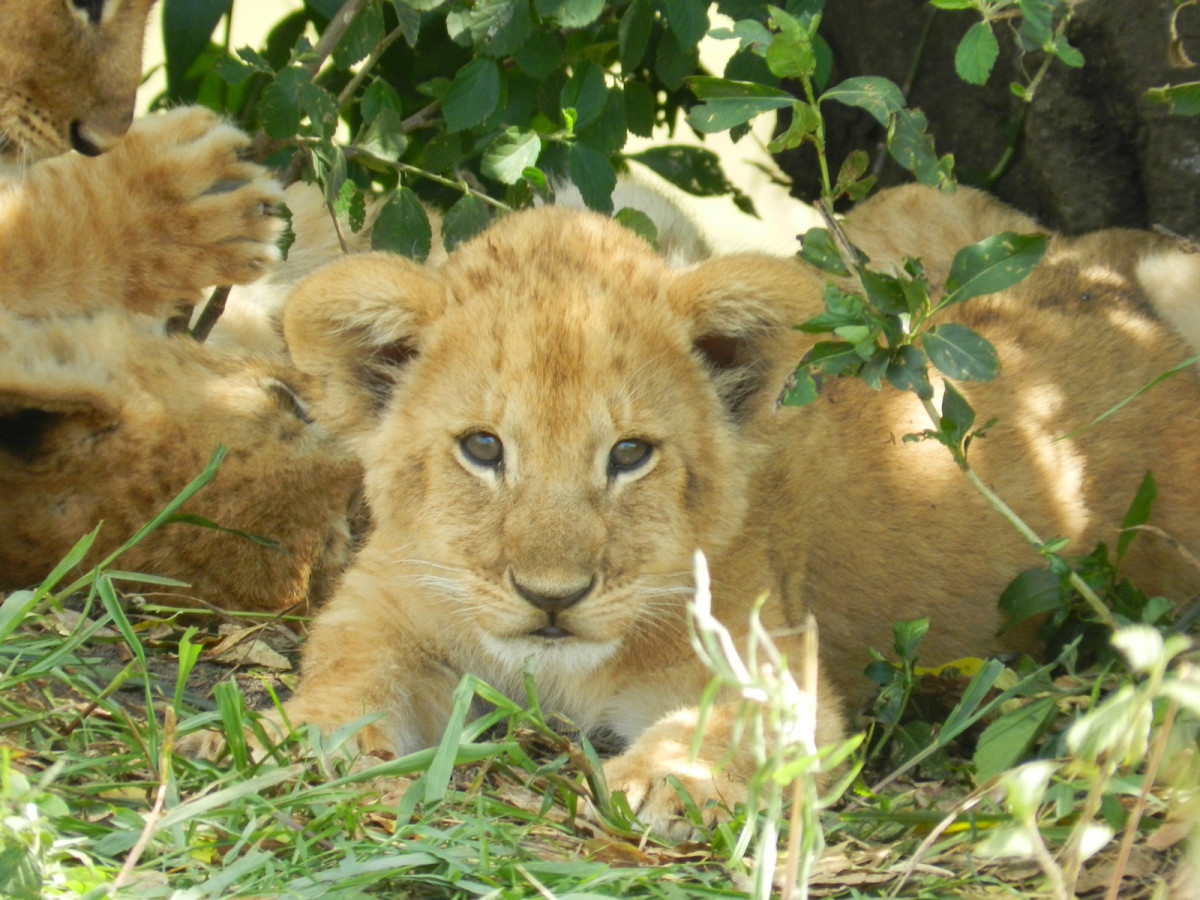 Lion cub in Serengeti region in Tanzania