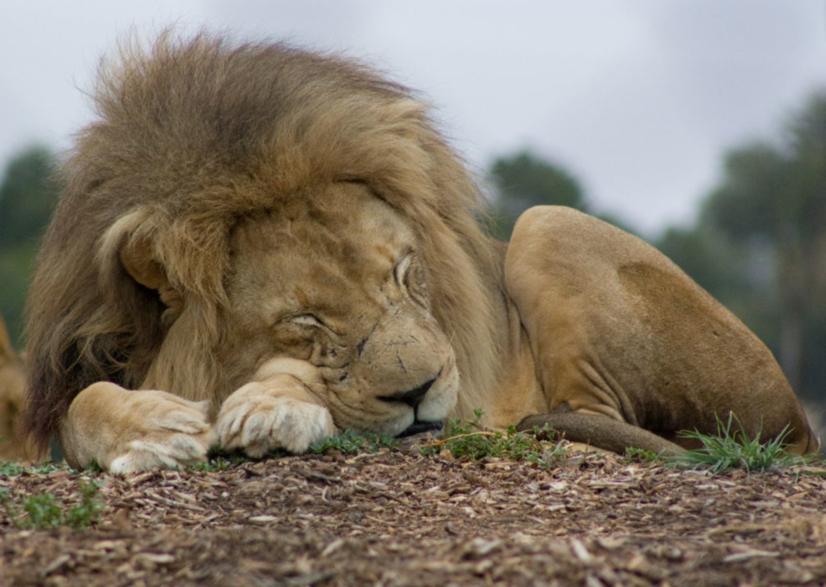 Lion sleeping at the Werribee Open Range Zoo in Australia