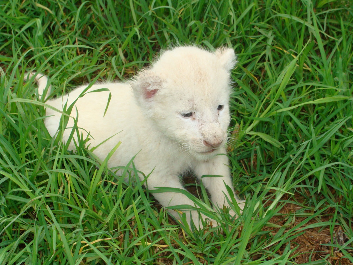 A white lion cub at the Rhino and Lion Nature Reserve in South Africa